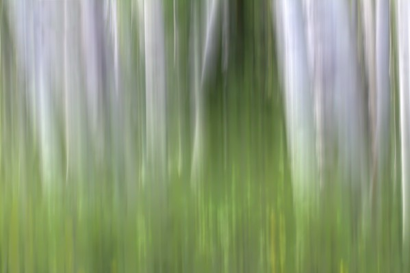 ASPEN FOREST IN THE SPRING VERSION 2 by Bill Sherrell