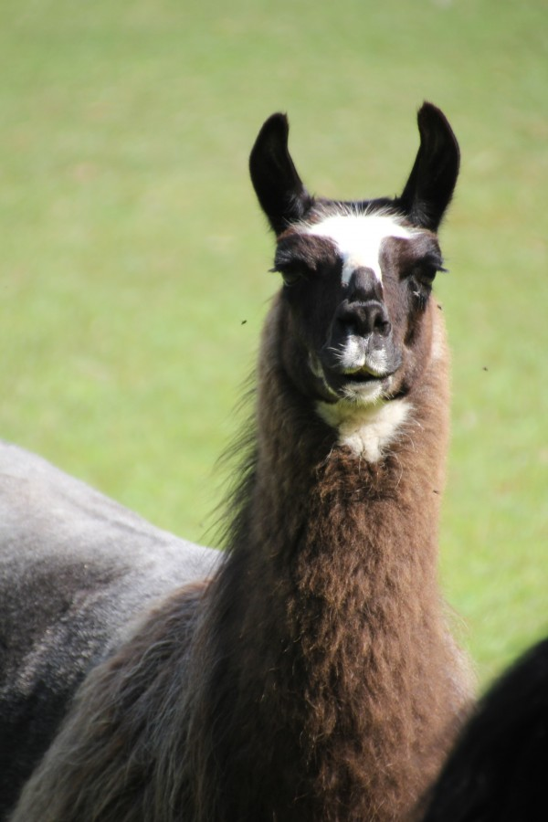 Christian the Llama by Bob Vogt