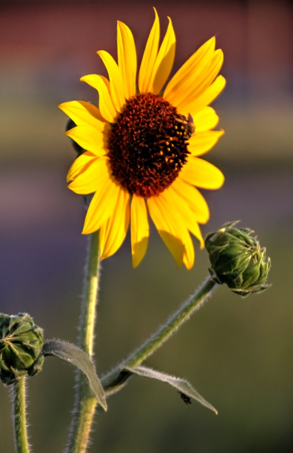 Sunflower by Bob Vogt