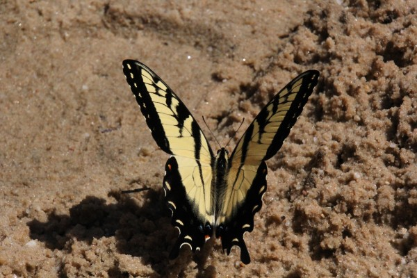 Butterfly on Sand by Bob Vogt