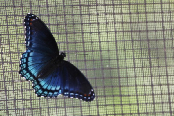 Butterfly on Screendoor by Bob Vogt