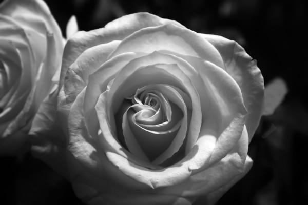 Rose by Brendan McMillan