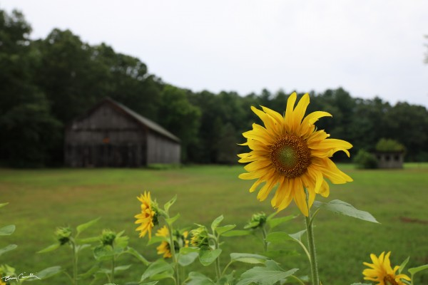 Barnflower by Brian Camilleri Photography