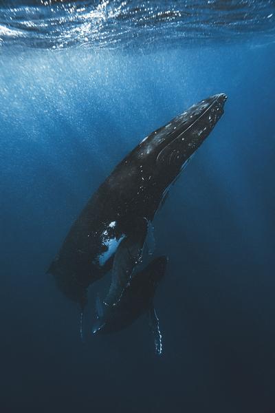 Whale and Calf by Brian Daniel