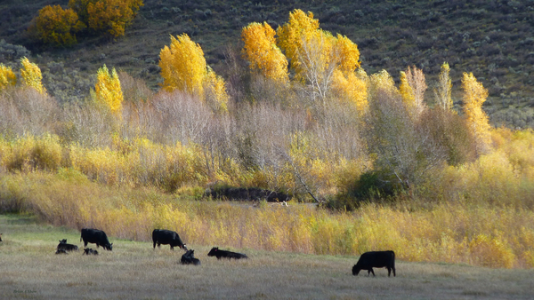 Angus and Aspens by Brian Shaw
