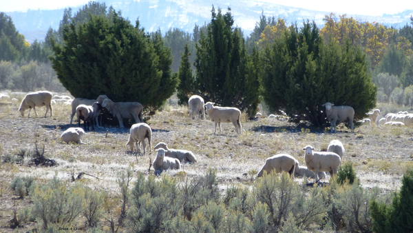 Sheep Juniper by Brian Shaw