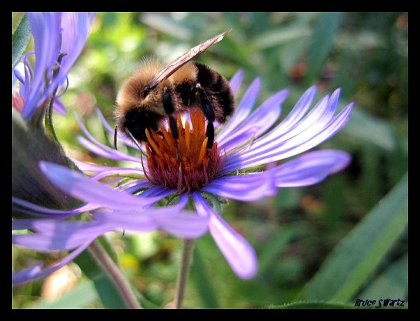 Busy Bumble Bee by Bruce Swartz