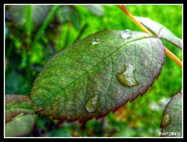 Rose Petal Rain HDR by Bruce Swartz