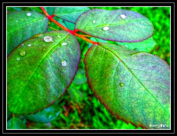 Rose Petals & Water Droplets  HDR by Bruce Swartz