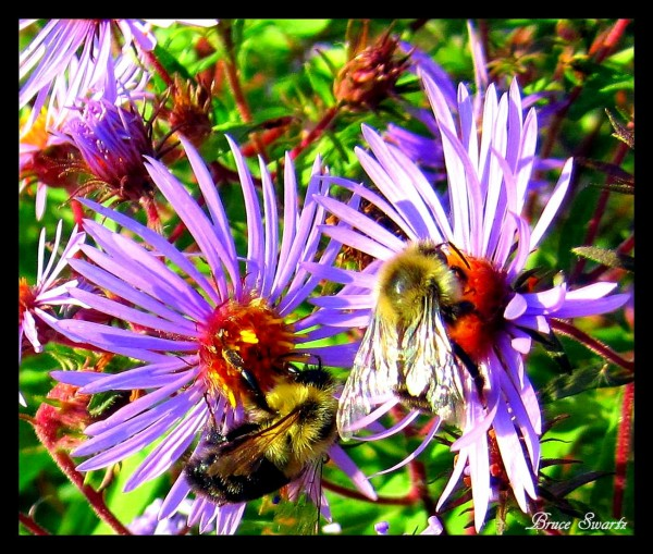 Bees & Flowers  by Bruce Swartz