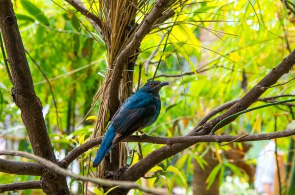 Asian Fairy Blue Bird by Bunnoffee Photography