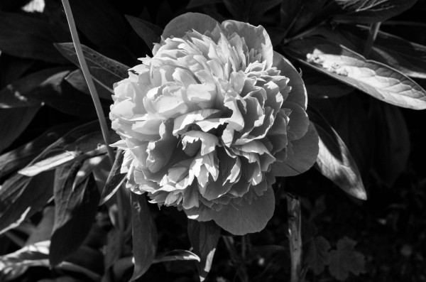 BW Flower by Bunnoffee Photography