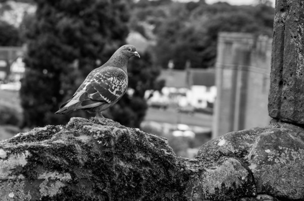 Black and White Pigeon by Bunnoffee Photography