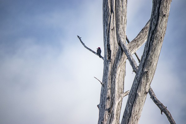 Woodpecker by By the C Media