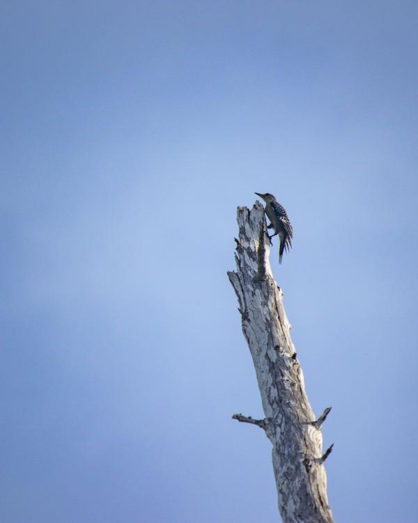 woodpecker on Australian pine by By the C Media