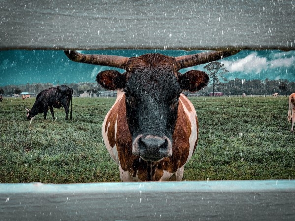 bull in the rain by By the C Media