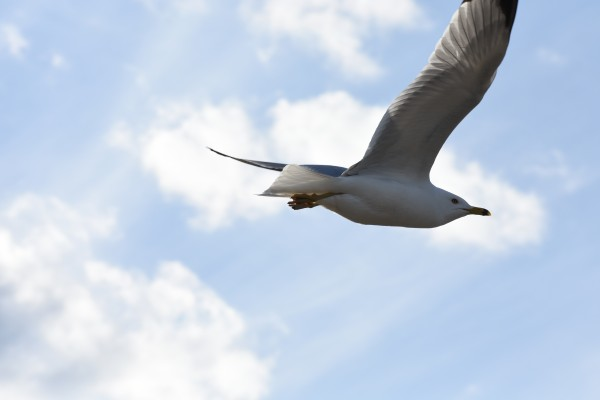 Flying Seagull by Cameraman Klein