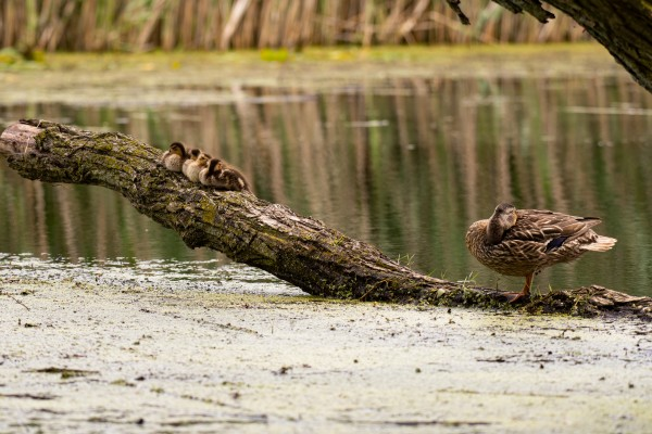 Ducklings on a Branch with Mom by Cameraman Klein