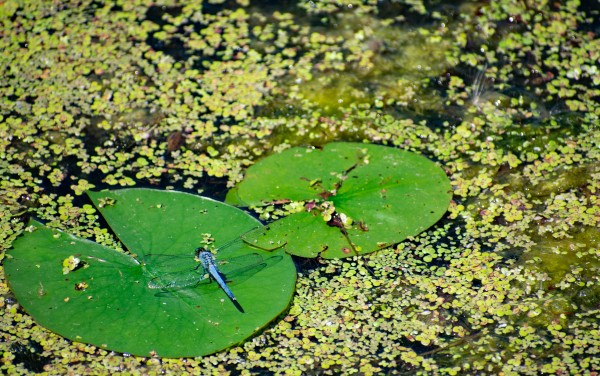 Dragonfly on Lily Pads by Cameraman Klein