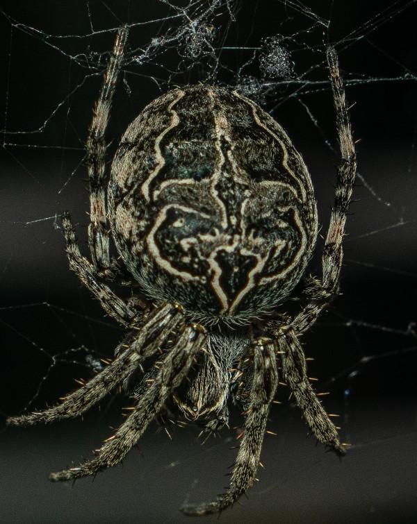 SpiderEdited 1 by Cameraman Klein