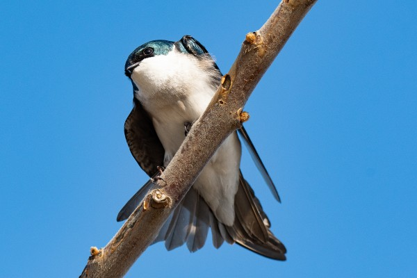 Tree Swallow by Cameraman Klein