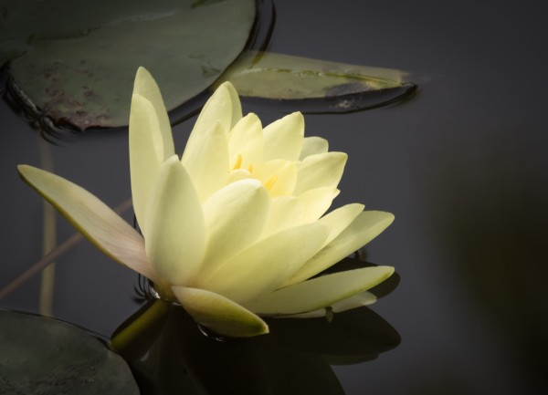 The Water Lily - Le Nenuphar by Carole Ledoux Photography