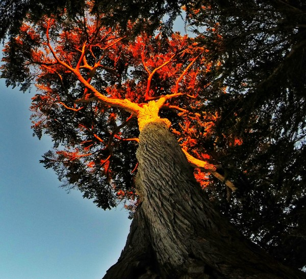 Tree on Fire by Clare Kathleen Cornelius