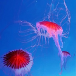 Jelly Fish by Clement Tsang