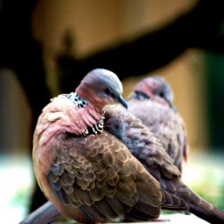 Pair of Pigeons by Clement Tsang