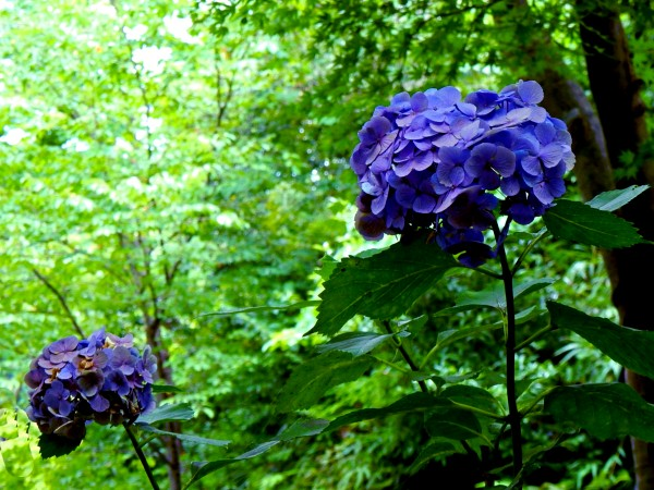 F35 - Hydrangea Macrophylla by Clement Tsang