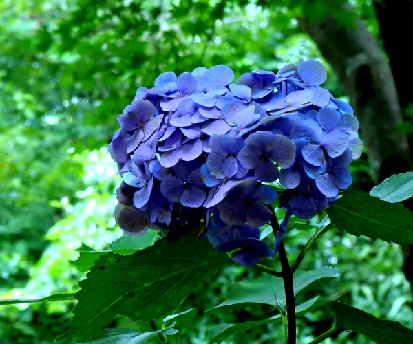 F33 - Hydrangea Macrophylla by Clement Tsang