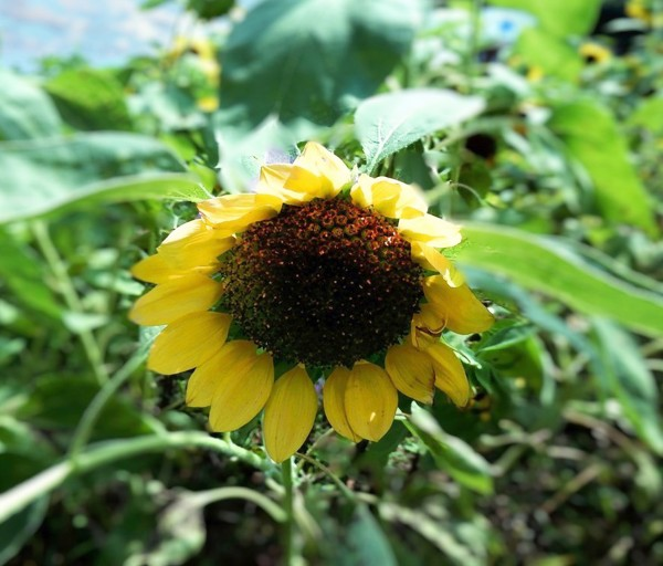 F26 - Helianthus Annuus  by Clement Tsang