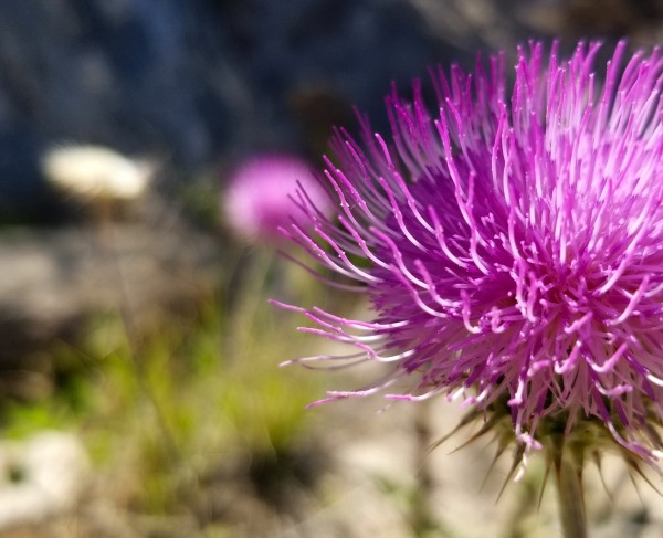Purple Thistle on Spring Day by Creative Endeavors - Steven Oscherwitz