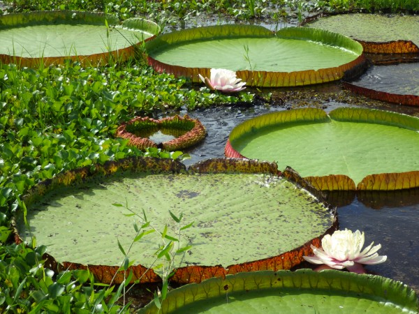 Giant Lily Pads  - Pantanal Brazil by Creative Endeavors - Steven Oscherwitz