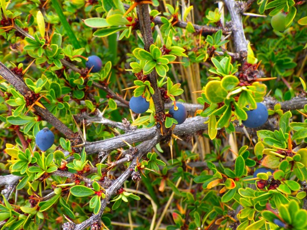 Calafate Berries in Patagonia Argentina by Creative Endeavors - Steven Oscherwitz
