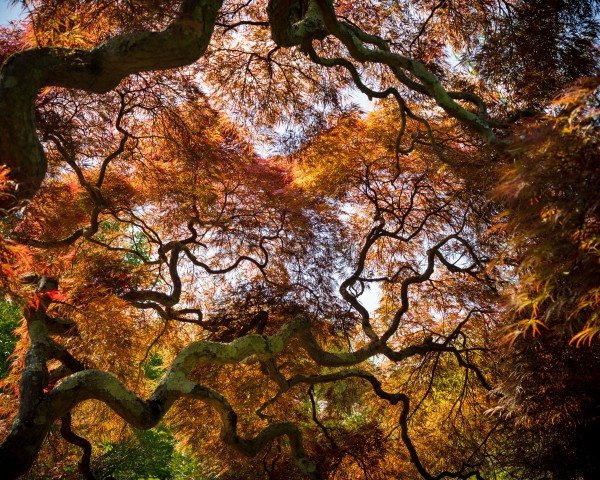 Dancing Maple by Dave Burwell