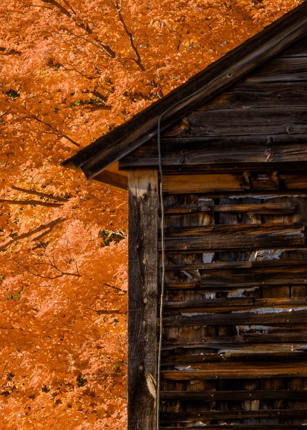 Maple and Barn by Dave Therrien
