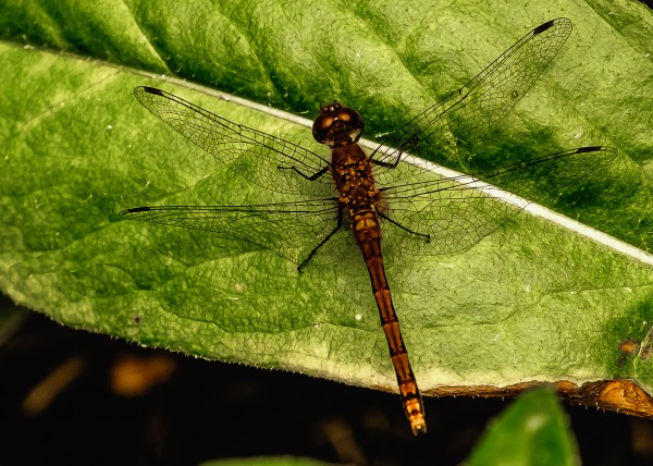 Dragonfly by Dave Therrien