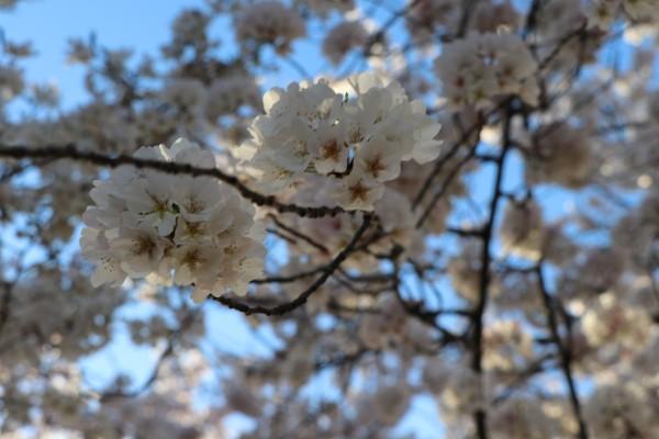 Cherry Blossoms by Deb Striker