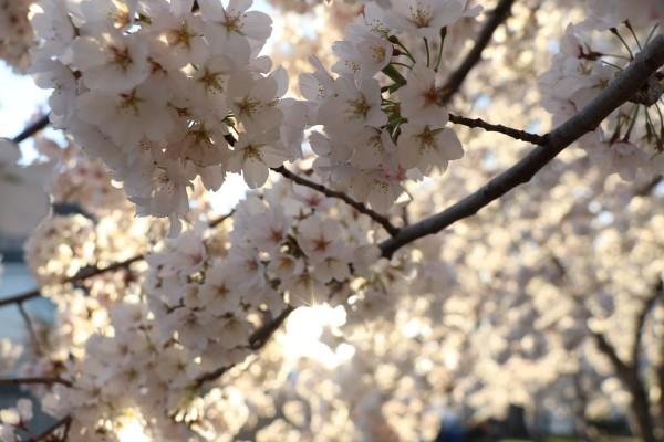 Sunburst Cherry Blossoms by Deb Striker