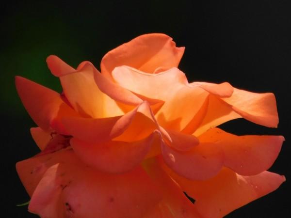 Sunset Rose by Debbie Caughey