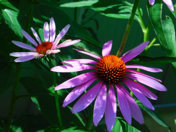 Echinacea by Debbie Caughey