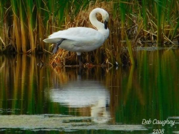 Trumpeter Swan  Spring by Debbie Caughey