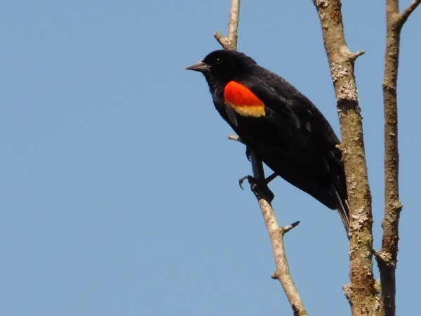 Red wing blackbird  spring. by Debbie Caughey