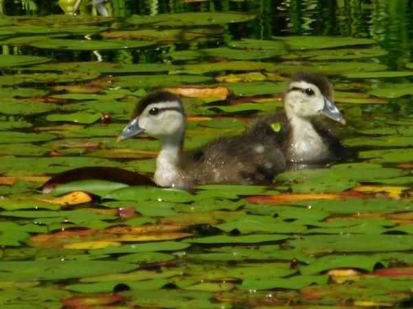 Wood ducklings by Debbie Caughey