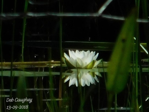 Water Lily  x Two by Debbie Caughey