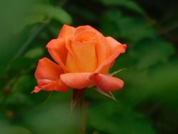 Rose glow by Debbie Caughey