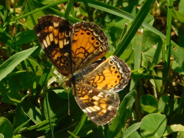 Pearl Crescent Butterfly by Debbie Caughey