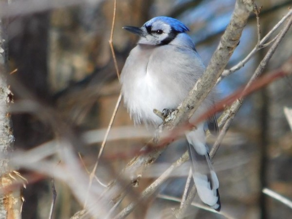 Blue Jay in the spring sun by Debbie Caughey