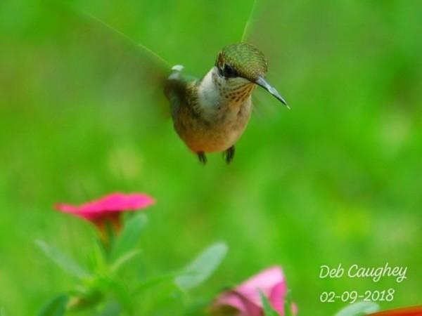 Ruby throated hummingbird by Debbie Caughey